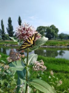 A swallowtail butterfly feeds on showy milkweed at the tail end of their flowering season, Okanagan river.